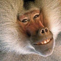 Ugly baboon